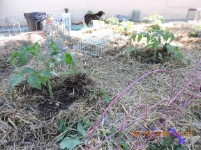 Tomatoes getting compost