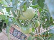 Mr. Stripey Tomatoes setting