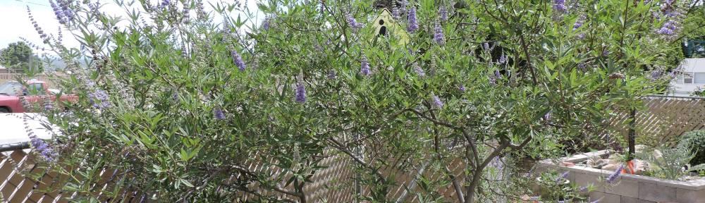 Chaste Tree in bloom