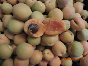 Apricots are mostly all off the tree.