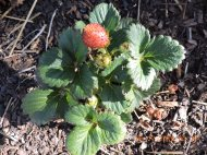 Strawberry in the wheelbarrow