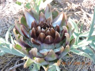 Artichoke left to bloom
