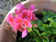 Bright pink Geranium in memory of my Sister