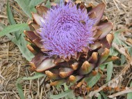 Another artichoke flower
