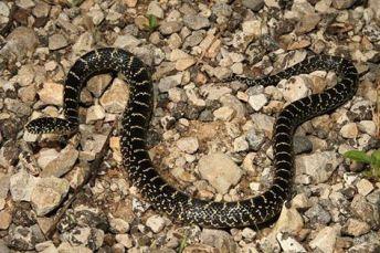 """Non-venomous, King/""""good snake"""""""