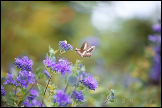 Hummingbird Moth - Arizona