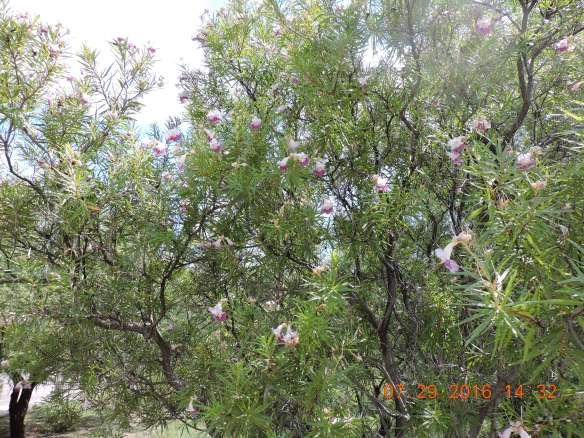 chilopsis linearis, Desert Willow
