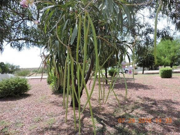 Pods of the chilopsis linearis, Desert Willow