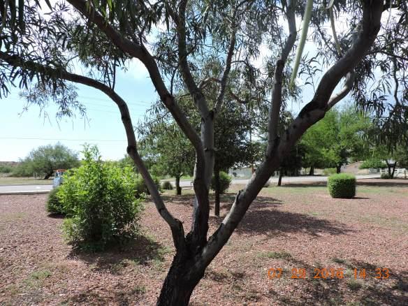 Desert Willow