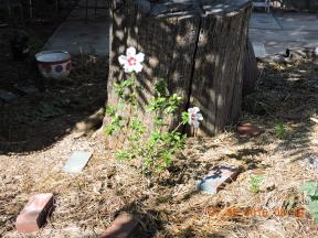 Hibiscus planted