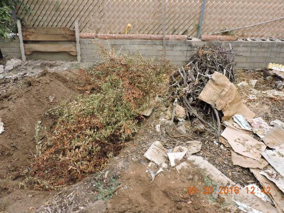 Pyracantha debris before being lopped down