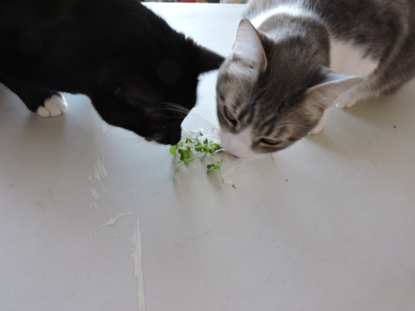 Kiddies eating brassica sprouts