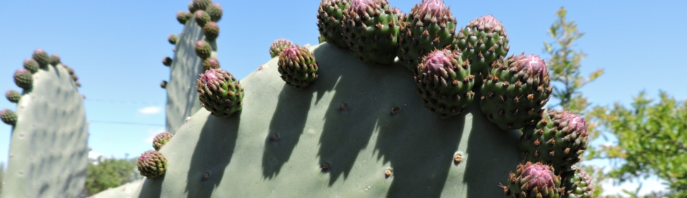 Prickly Pears Galore